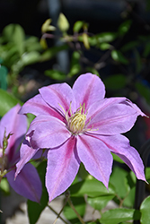 Volunteer™ Clematis (Clematis 'Evipo080') at English Gardens