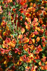 Lena Scotch Broom (Cytisus 'Lena') at English Gardens