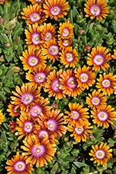 Fire Spinner Ice Plant (Delosperma 'Fire Spinner') at English Gardens
