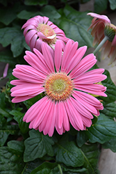 Pink Gerbera Daisy (Gerbera 'Pink') at English Gardens