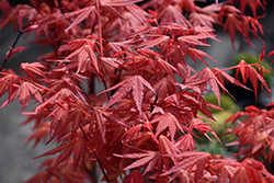 First Flame® Maple (Acer 'IslFirFl') at English Gardens