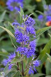 Sapphire Surf™ Caryopteris (Caryopteris x clandonensis 'Blauer Splatz') at English Gardens