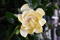First Love Gardenia (Gardenia jasminoides 'Aimee') at English Gardens
