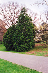 Hinoki Falsecypress (Chamaecyparis obtusa) at English Gardens