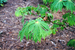 Fullmoon Maple (Acer japonicum) at English Gardens