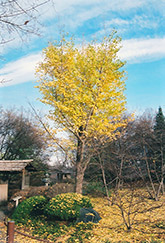 Ginkgo (Ginkgo biloba) at English Gardens