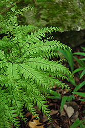 Northern Maidenhair Fern (Adiantum pedatum) at English Gardens