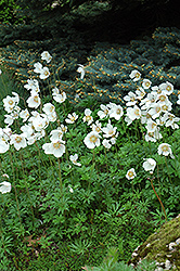 Windflower (Anemone sylvestris) at English Gardens