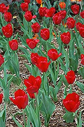 Red Present Tulip (Tulipa 'Red Present') at English Gardens