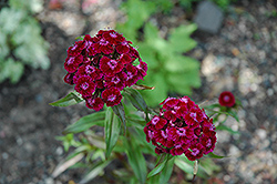 Sweet William (Dianthus barbatus) at English Gardens
