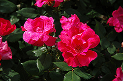 Knock Out® Rose (Rosa 'Radrazz') at English Gardens