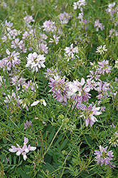 Crown Vetch (Coronilla varia) at English Gardens
