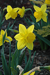 Arctic Gold Daffodil (Narcissus 'Arctic Gold') at English Gardens