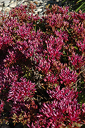 Dragon's Blood Stonecrop (Sedum spurium) at English Gardens