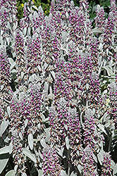 Lamb's Ears (Stachys byzantina) at English Gardens