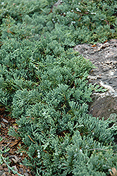 Blue Rug Juniper (Juniperus horizontalis 'Wiltonii') at English Gardens