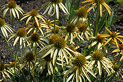 Mango Meadowbrite Coneflower (Echinacea 'Mango Meadowbrite') at English Gardens