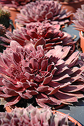 Royal Ruby Hens And Chicks (Sempervivum 'Royal Ruby') at English Gardens