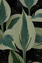 Blue Ivory Hosta (Hosta 'Blue Ivory') at English Gardens