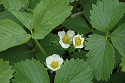 Ozark Beauty Strawberry (Fragaria 'Ozark Beauty') at English Gardens