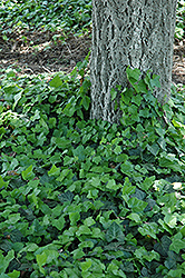Baltic Ivy (Hedera helix 'Baltica') at English Gardens