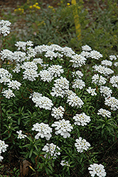 Purity Candytuft (Iberis sempervirens 'Purity') at English Gardens