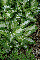 Variegated Hosta (Hosta undulata 'Variegata') at English Gardens