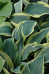 Wolverine Hosta (Hosta 'Wolverine') at English Gardens