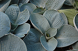 Love Pat Hosta (Hosta 'Love Pat') at English Gardens