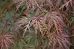 Orangeola Cutleaf Japanese Maple (Acer palmatum 'Orangeola') at English Gardens