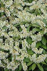 Cavatine Dwarf Japanese Pieris (Pieris japonica 'Cavatine') at English Gardens