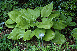 Sum and Substance Hosta (Hosta 'Sum and Substance') at English Gardens
