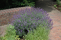 English Lavender (Lavandula angustifolia) at English Gardens
