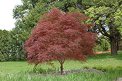Dwarf Red Pygmy Japanese Maple (Acer palmatum 'Red Pygmy') at English Gardens