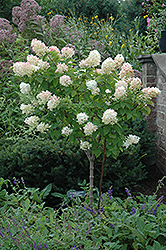 Limelight Hydrangea (tree form) (Hydrangea paniculata 'Limelight (tree form)') at English Gardens