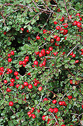 Cranberry Cotoneaster (Cotoneaster apiculatus) at English Gardens