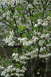 Japanese Snowbell (Styrax japonicus) at English Gardens