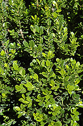 Baby Gem™ Boxwood (Buxus microphylla 'Gregem') at English Gardens