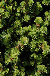 Sherwood Compact Norway Spruce (Picea abies 'Sherwood Compact') at English Gardens