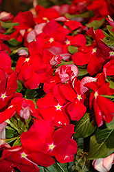 Cora® Red Vinca (Catharanthus roseus 'Cora Red') at English Gardens