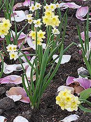 Minnow Miniature Daffodil (Narcissus 'Minnow') at English Gardens