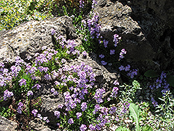 Rock Cress (Arabis caerulea) at English Gardens