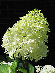Limelight Hydrangea (Hydrangea paniculata 'Limelight') at English Gardens
