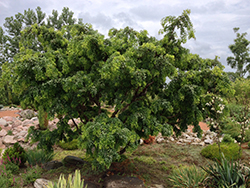 Twisted Baby® Black Locust (Robinia pseudoacacia 'Lace Lady') at English Gardens