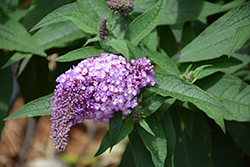 Pugster® Amethyst Butterfly Bush (Buddleia 'SMNBDL') at English Gardens