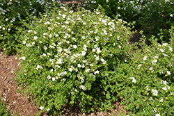 Happy Face® White Potentilla (Potentilla fruticosa 'White Lady') at English Gardens
