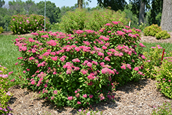 Double Play® Red Spirea (Spiraea japonica 'SMNSJMFR') at English Gardens