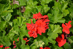 Calliope® Large Scarlet Fire Geranium (Pelargonium 'Calliope Large Scarlet Fire') at English Gardens