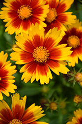 UpTick™ Gold and Bronze Tickseed (Coreopsis 'Baluptgonz') at English Gardens