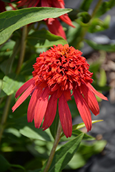 Cone-fections™ Hot Papaya Coneflower (Echinacea 'Hot Papaya') at English Gardens
